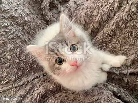 8 week old domestic medium hair cat