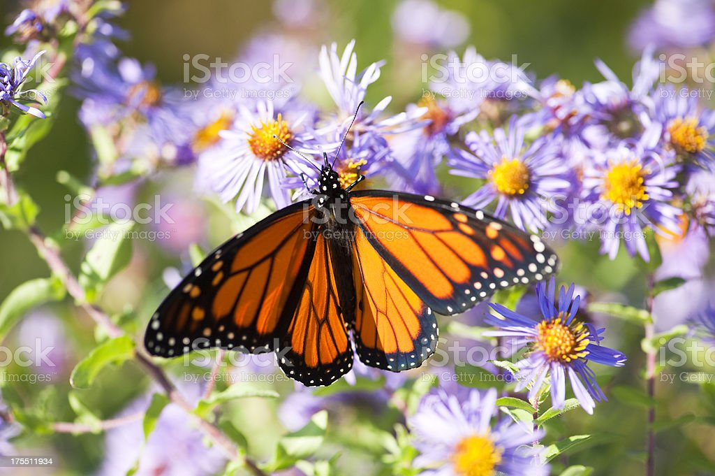 A monarch butterfly with its wings wide open on a blooming bush of...