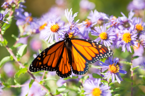 A monarch butterfly with its wings wide open on a blooming bush of wild aster in the early autumn.