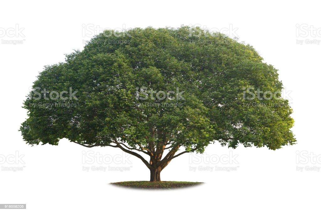 Uma verdadeira grande árvore isolada no fundo branco. - foto de acervo