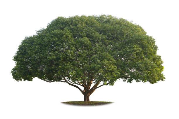 Ein echter großer Baum isoliert auf weißem Hintergrund. – Foto