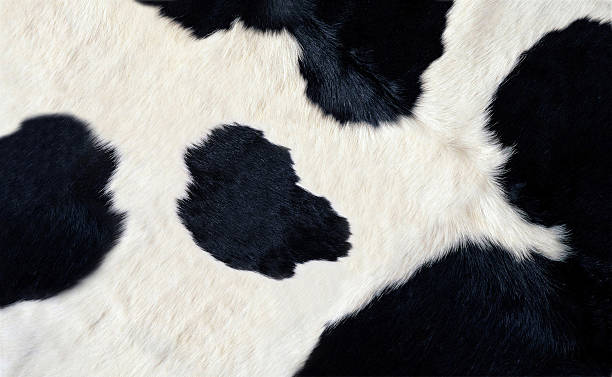 real black and white cow hide real black and white cow hide cowhide stock pictures, royalty-free photos & images