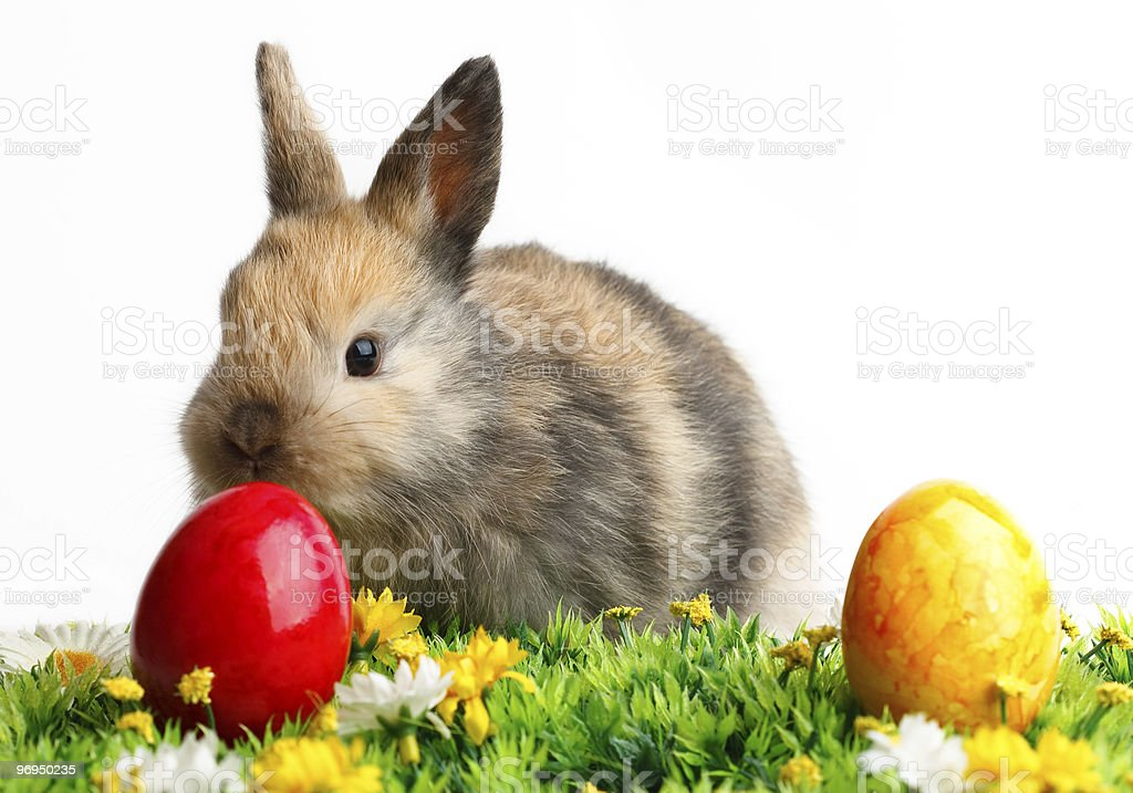 Real brown bunny behind Easter eggs and grass royalty-free stock photo