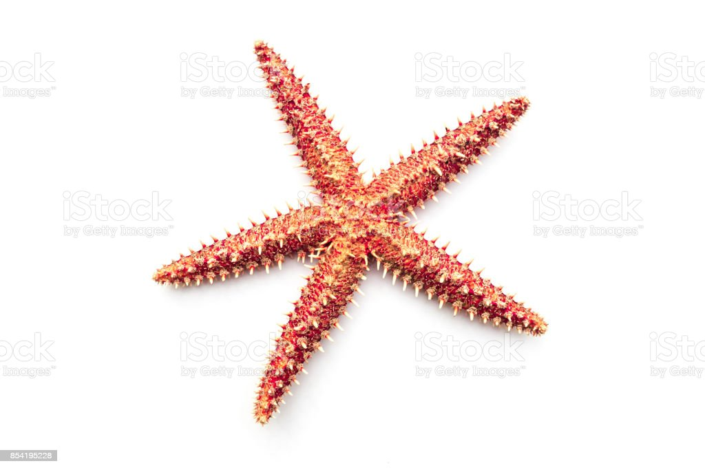 Real dry Starfish on the white background. stock photo