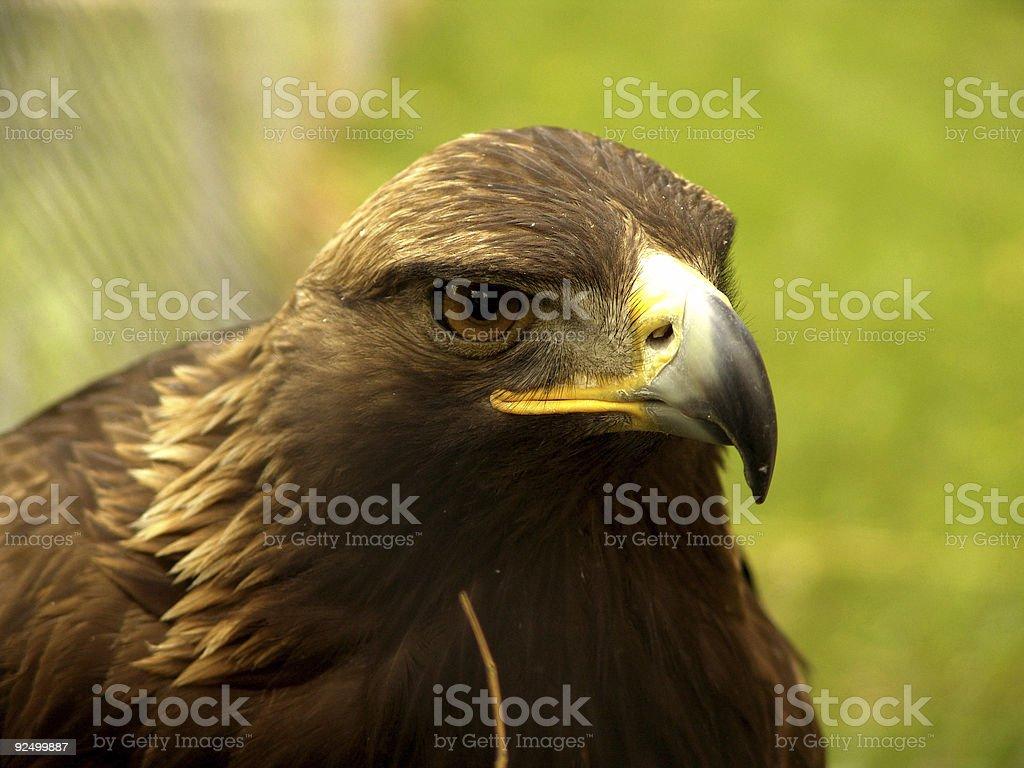 Real Eagle looking at royalty-free stock photo