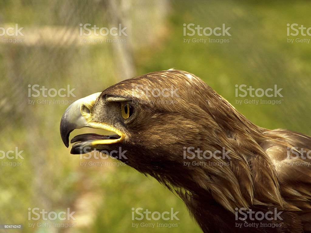 Real Eagle royalty-free stock photo