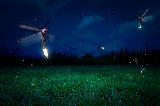 Real fireflies on a grass field at night