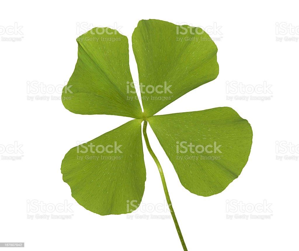 Real Four Leaf Clover Hi Key stock photo