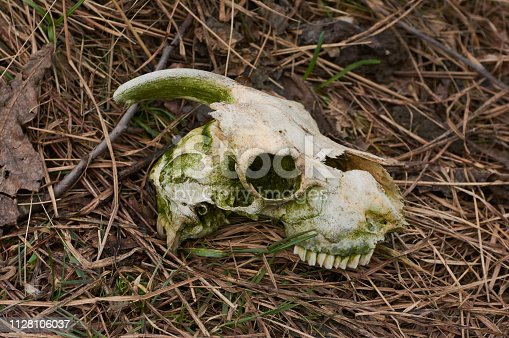 1151385192istockphoto A real goat skull with one horn on a background of grass. 1128106037
