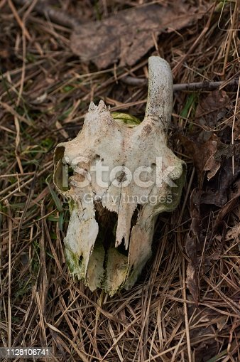 1151385192 istock photo A real goat skull with one horn on a background of grass. 1128106741