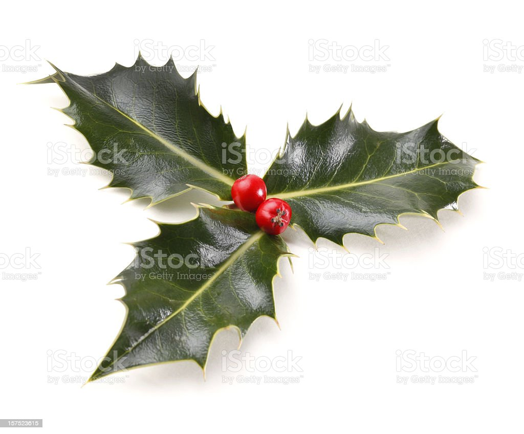 Real Holly Sprig royalty-free stock photo