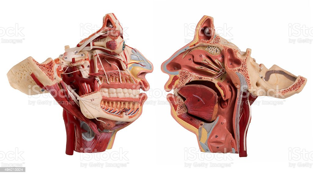 Real Human Face Anatomy Isolated On White Stock Photo More