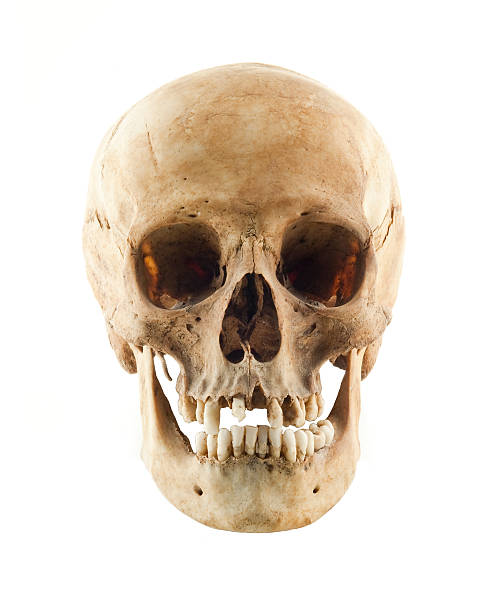 Real human skull frontal view stock photo