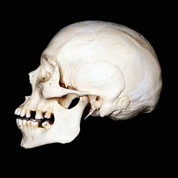 Royalty Free Human Skull Profile Pictures Images And Stock Photos