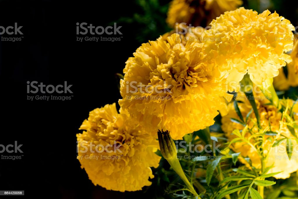 Real Marigold flowers at night. stock photo