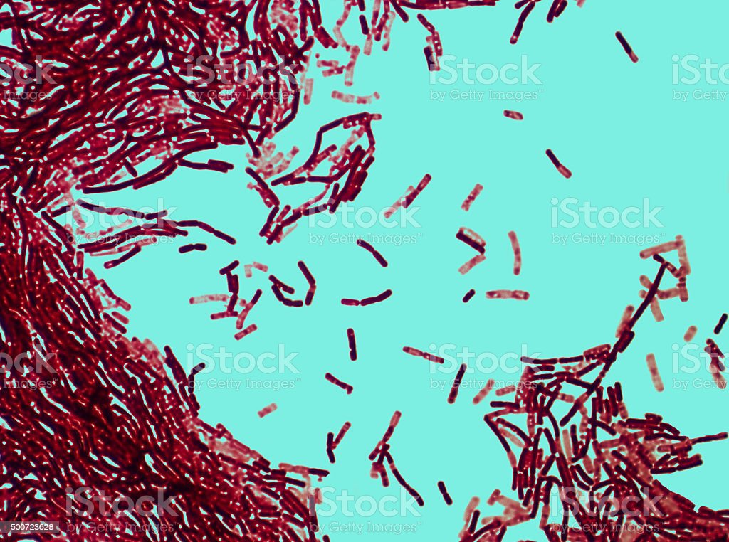 Real microphotography of Streptobacillus bacteria similar to an Anthrax pathogen stock photo