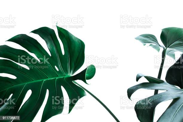 Real monstera leaves decorating for composition nature concepts picture id911738872?b=1&k=6&m=911738872&s=612x612&h=untr2auv9xptemkeuujmvq4meamafxguof7bw1 sjfm=