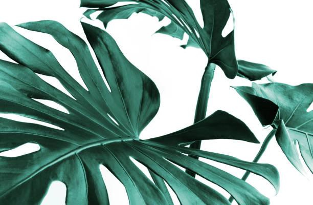 monstera real deixa a decoração para o projeto de composição. conceitos de natureza tropical, botânica - monstera - fotografias e filmes do acervo
