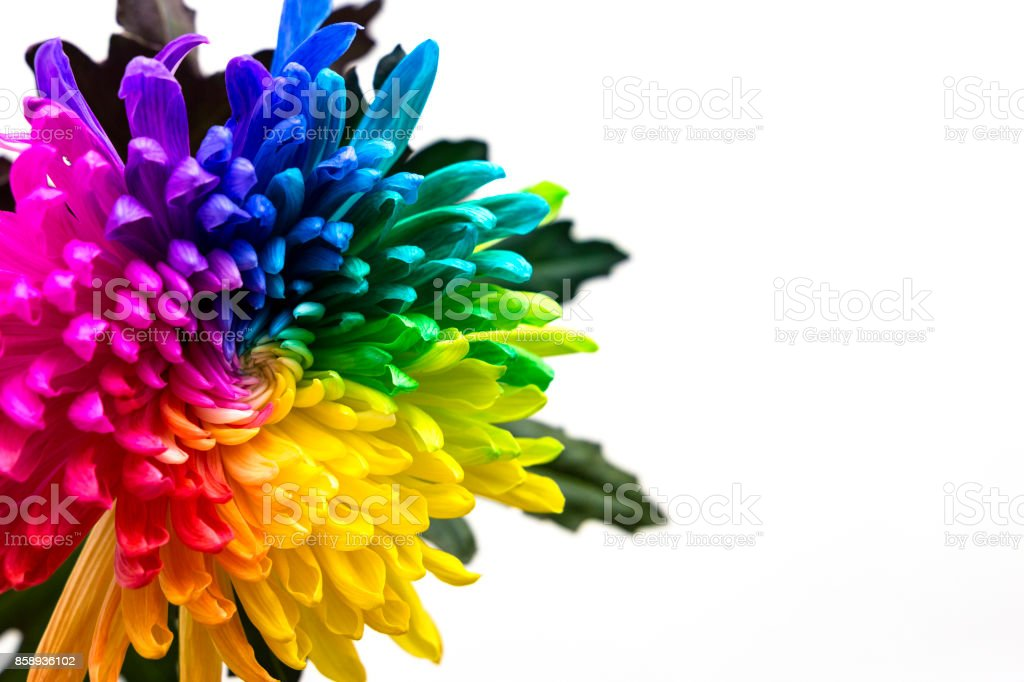 Real Multicolored Chrysanthemum Flower On The White Background Royalty Free Stock Photo