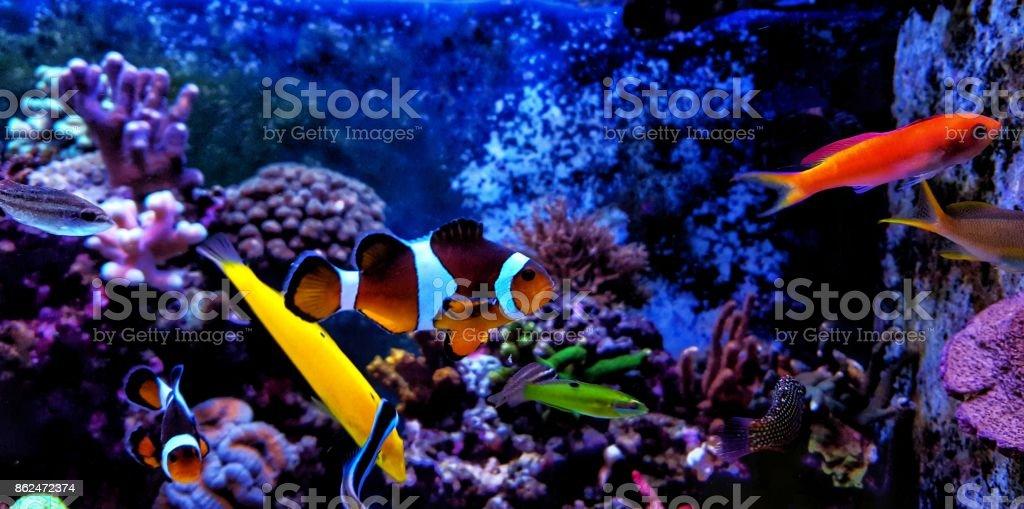 Real nemo in Reef Tank stock photo