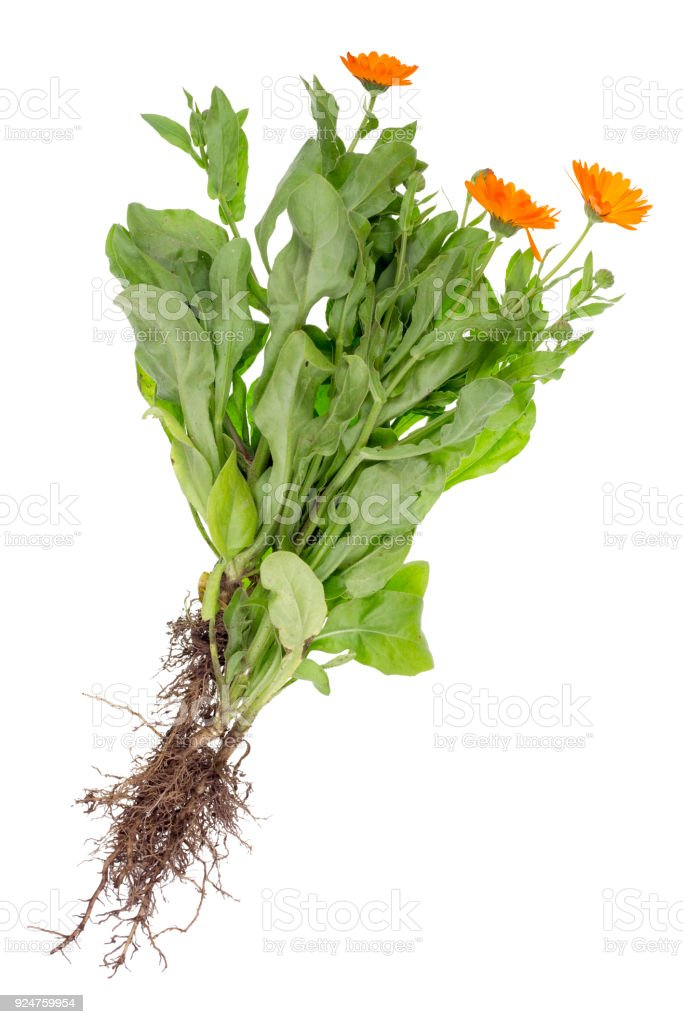 A Real New Summer Bush Of Medical Marigold With Roots Leaves And Flowers Stock Photo Download Image Now Istock