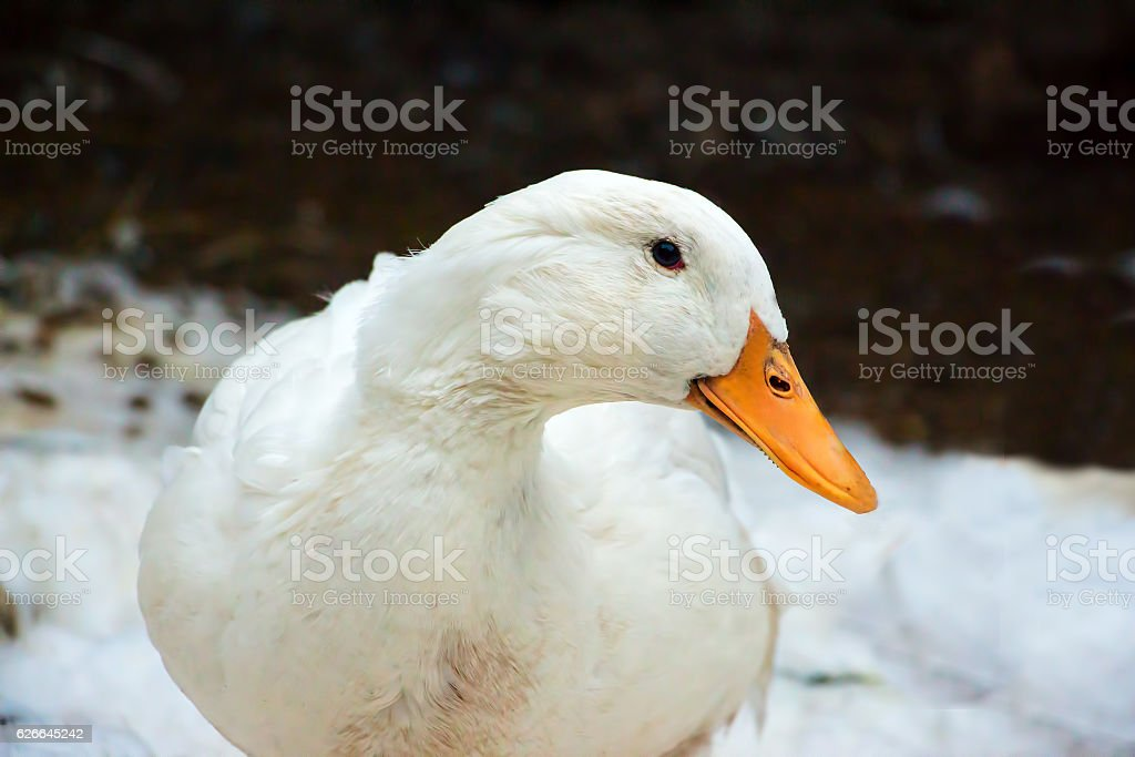 Real Pekin duck stock photo