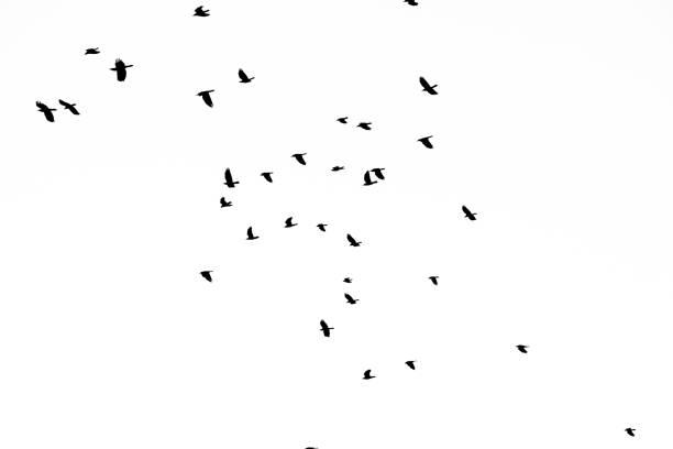 Echtes Foto von fliegenden Krähen auf dem weißen Himmel hallo-res Textur für Designer – Foto