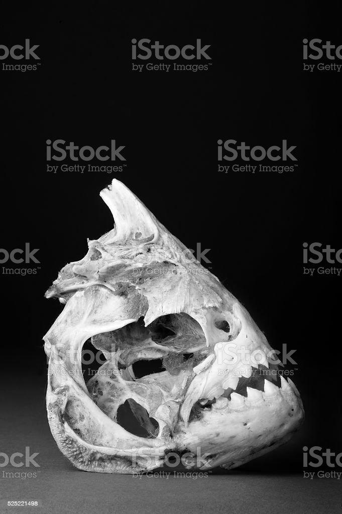 Real Piranha Skeleton stock photo