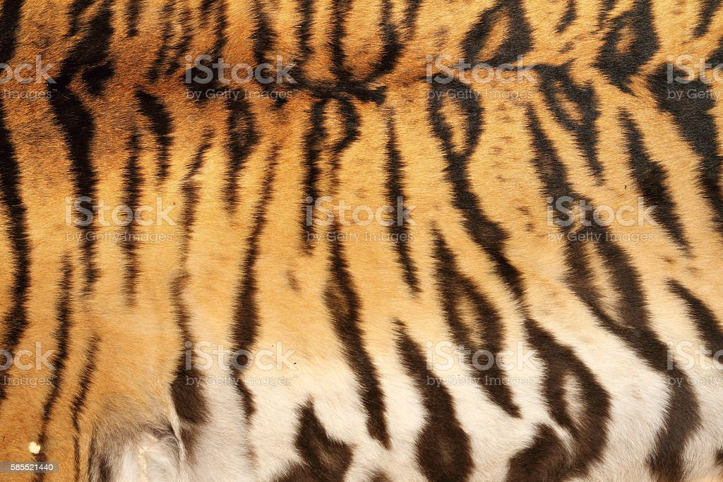 real tiger stripes on animal skin stock photo