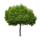 A real tree isolated white background. This is an element object.