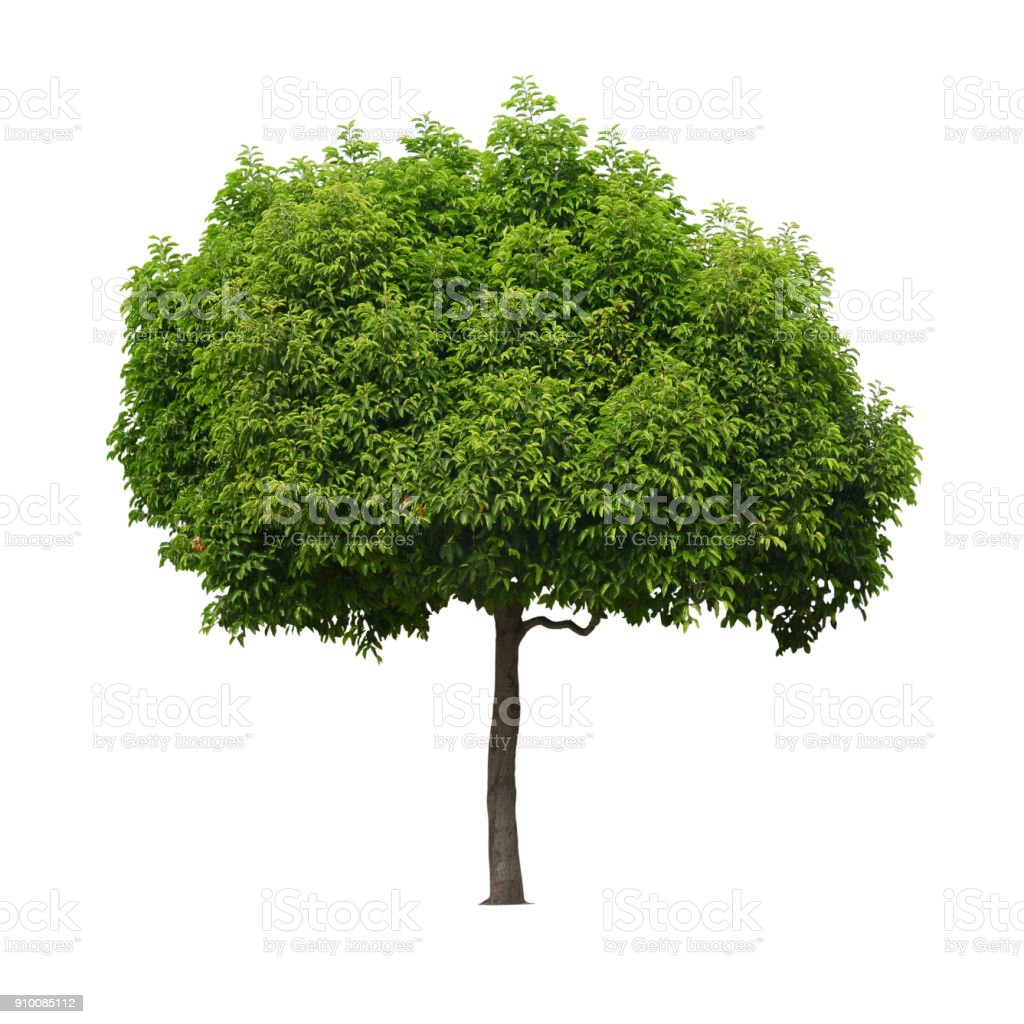 A real tree isolated white background. - fotografia de stock