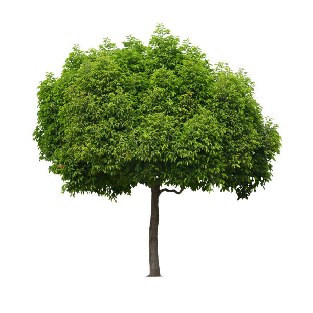 A real tree isolated white background. stock photo