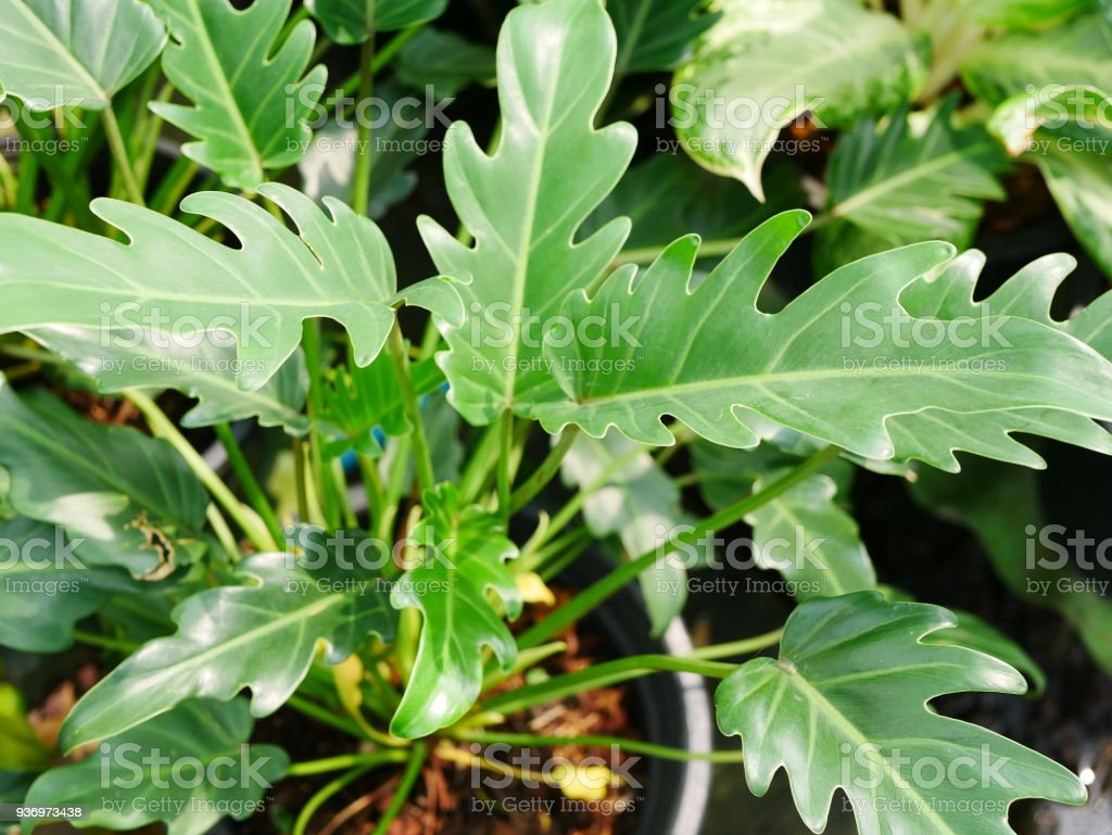 Real Tropical Leaves Stock Photo Download Image Now Istock Fresh tropical green leaves on white background with paradise illustration. https www istockphoto com photo real tropical leaves gm936973438 256310550