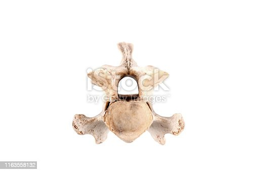 real vertebra bone - backbone - of a goat