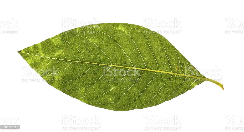 Real willow leaf isolated royalty-free stock photo