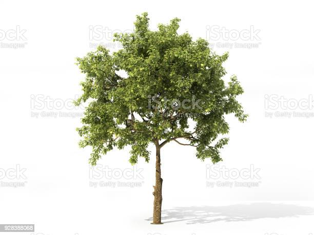 Realistic apple tree full of leaves isolated on a white 3d picture id928388068?b=1&k=6&m=928388068&s=612x612&h= 2qv jzvu 1 9fiwepzcoomdzqxdpkygw1hir1hq5mw=