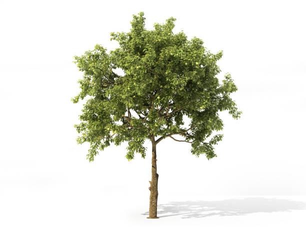 Realistic apple tree full of leaves isolated on a white 3d picture id928388068?b=1&k=6&m=928388068&s=612x612&w=0&h=ynrjj6xi8skzso4q8j7ooox2kyju5ftq53hzue8wpus=