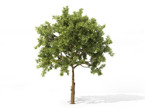 realistic apple tree full of leaves isolated on a white. 3d illustration - trees stock photos and pictures