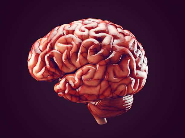 Realistic brain illustration Realistic 3d Illustration of human brain with blood vessels isolated cerebellum stock pictures, royalty-free photos & images