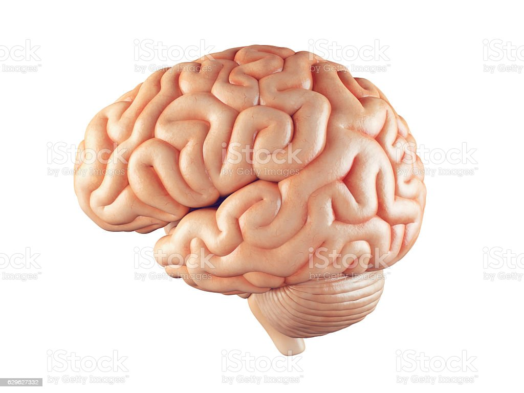 Realistic brain illustration stock photo