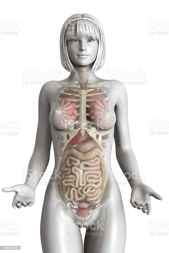 Realistic Female Anatomy Model Stock Photo & More Pictures of ...