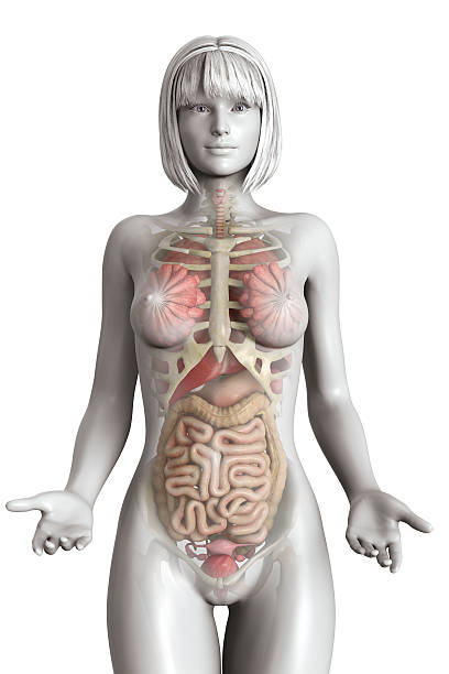 realistic female anatomy model - human internal organ stock pictures, royalty-free photos & images