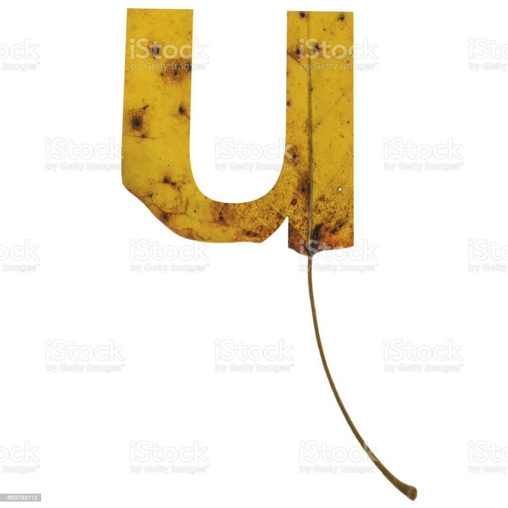 Realistic yellow autumn leaf alphabet lowercase letter u with embedded selection clipping path isolated on white compositing stock photo