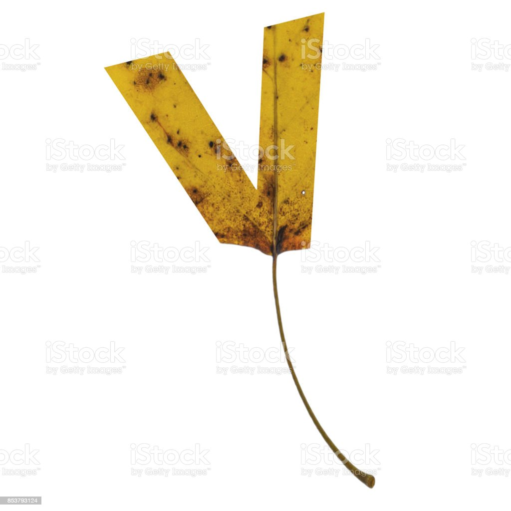 Realistic yellow autumn leaf alphabet lowercase letter v with embedded selection clipping path isolated on white compositing stock photo