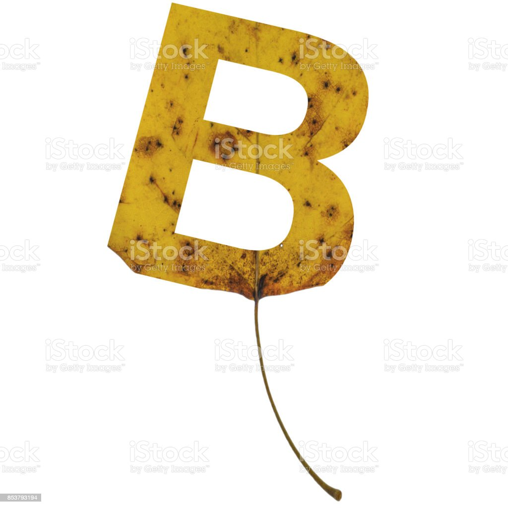 Realistic yellow autumn leaf alphabet uppercase letter b with embedded selection clipping path isolated on white compositing stock photo