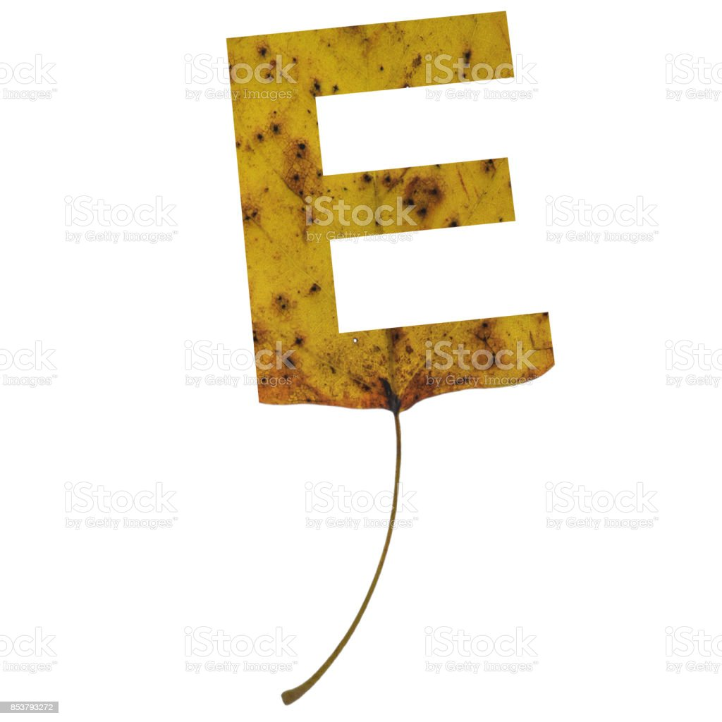 Realistic yellow autumn leaf alphabet uppercase letter e with embedded selection clipping path isolated on white compositing stock photo