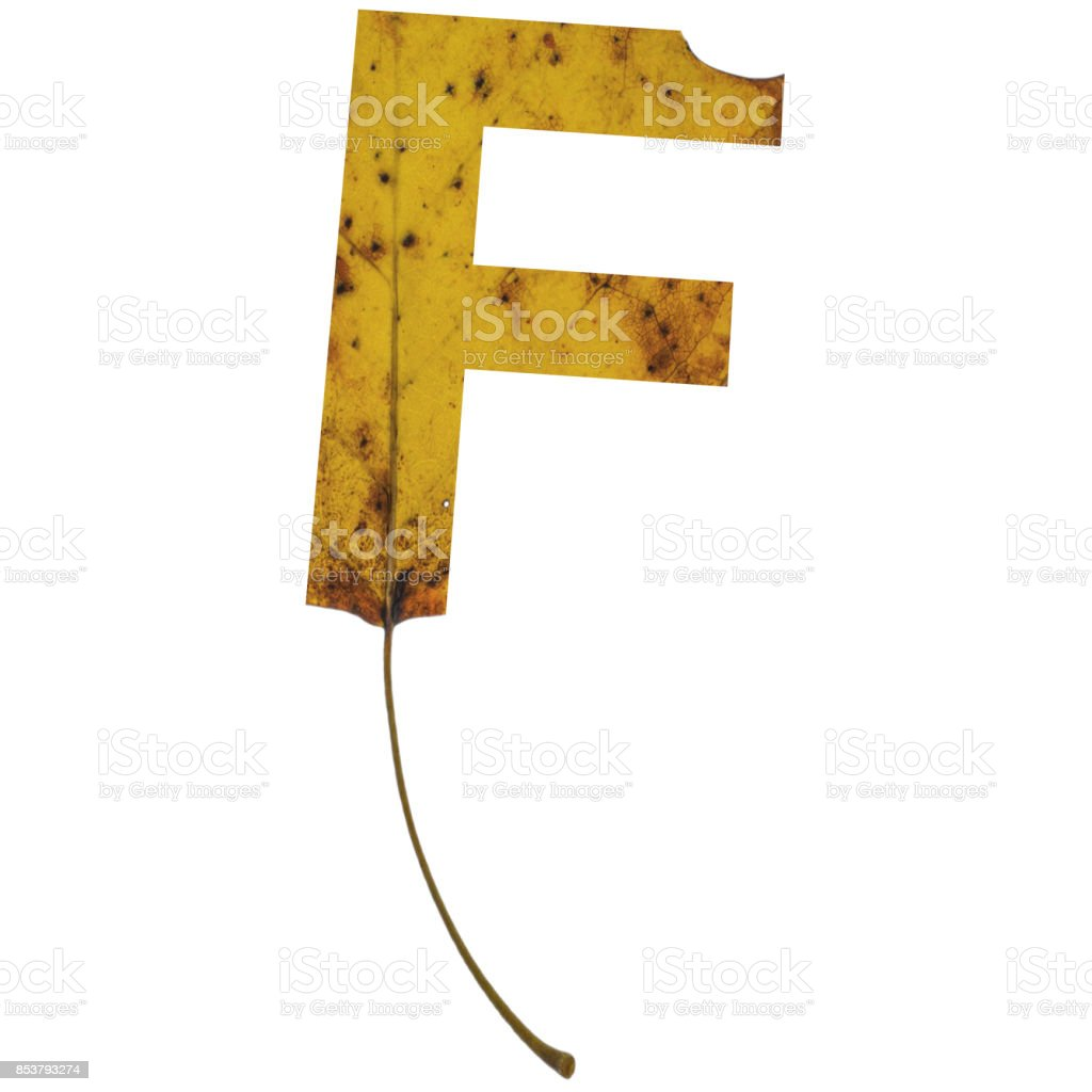 Realistic yellow autumn leaf alphabet uppercase letter f with embedded selection clipping path isolated on white compositing stock photo