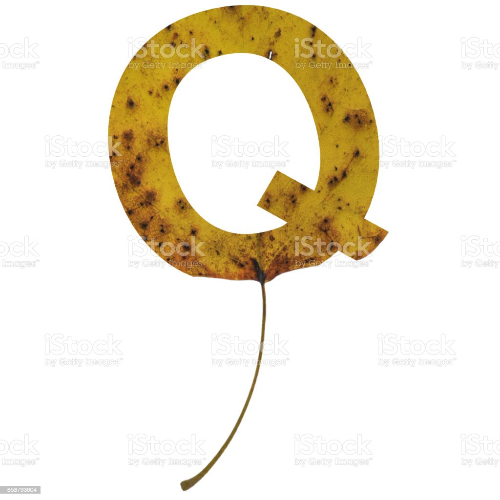 Realistic yellow autumn leaf alphabet uppercase letter q with embedded selection clipping path isolated on white compositing stock photo