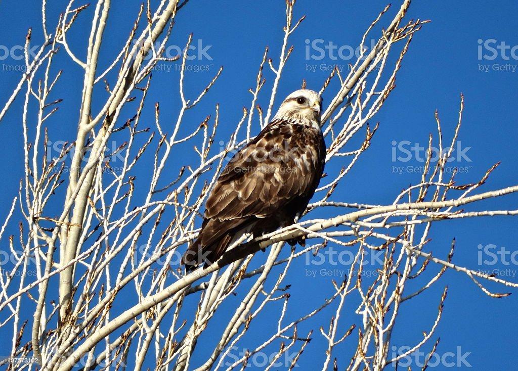 Really Rare Hawk stock photo