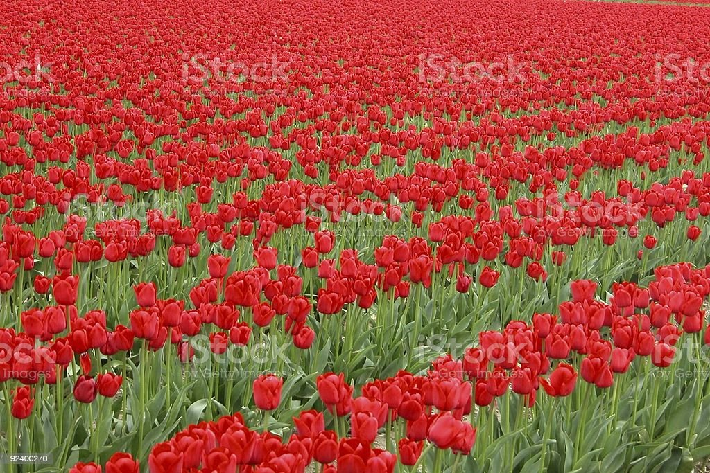 Really Red royalty-free stock photo